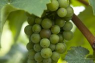 Pálava – the original Czech wine