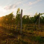 Velké Bílovice vineyard